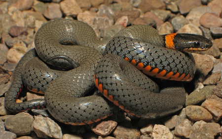 Snake - coiled, orange, reptile, snake