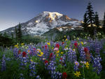 USA Washington Mt Rainier NP Spectacular summer display of wildflowers at sunrise