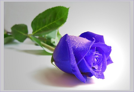 purple rose flowers nature background wallpapers on desktop