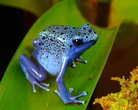 Dart Frog - frog, wallpaper, poison, dart, blue
