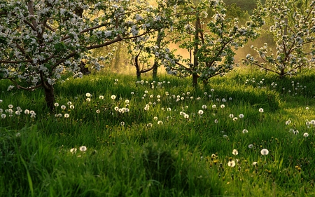 SPRING BLOSSOMS - grass, flowers, spring, field, trees