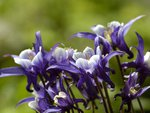 Columbine Giant Star Aquilegia Christy Blue