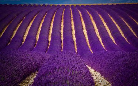 Lavender Field - row, flowers, line, lavender, farm, flower, beautiful, smell, purple, field