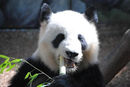 panda - china, panda, bamboo, nature, wild, eating