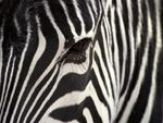 Zebra-looks-at-you