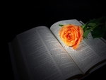 peach rose on Bible