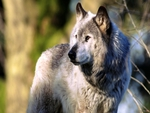 EURASIAN GRAY WOLF for JERRY(chef1ne)