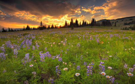 Field of Flowers - flowers, sunset, summer, nature, flower, beautiful, purple, clouds, field, spring