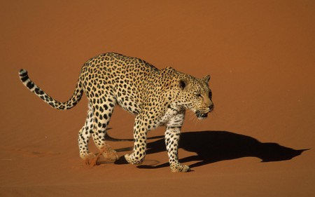 Leopard - animal, leopard, cat, feline, wildlife