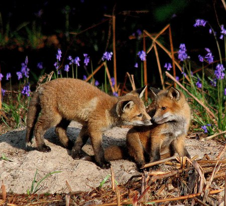 little foxes - foxes, flowers, little, wild