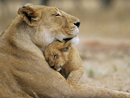 Sweet mother's love - wild, love, mom, cub, tender, lion, animal