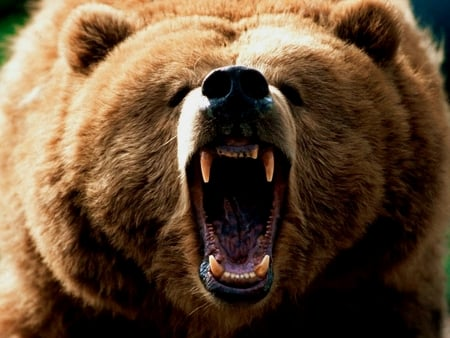 Grizzly Bear Roar Bears Amp Animals Background Wallpapers