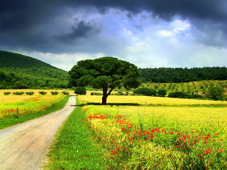 Spring road - tree, cornfields, countryroad, poppies