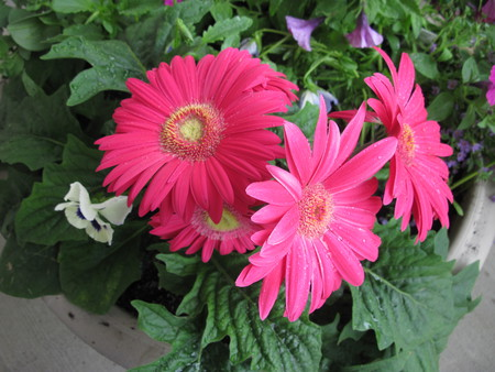Pink Gerberas in my little Garden - gerberas, pot, pansy, photography, green, purple, flowers, nature, white, pink, petunias