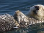 otter  sleeping