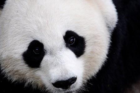 panda - china, bear, panda, wild