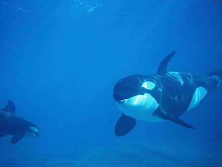 Orcas - whale, orcas, orca, killer whale