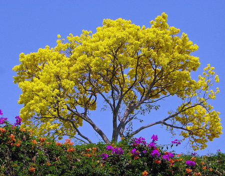 Beautiful yellow tree other nature background wallpapers on beautiful yellow tree yellow sky blue colorful flowers flowers trees mightylinksfo