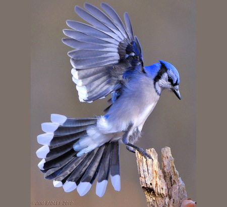 blue jay landing birds amp animals background wallpapers