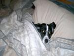 Dog under the blankets