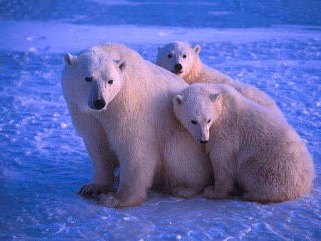 Bear polar family at blue light - arctic, mom, cub, bear, wildlife, polar, blue