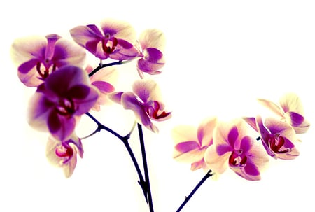Purple and vanilla orchids for MillyCake2 - alb, mov, flor, orchids, purple, vanilie, blanco, flower, nature, flori, white, vanilla