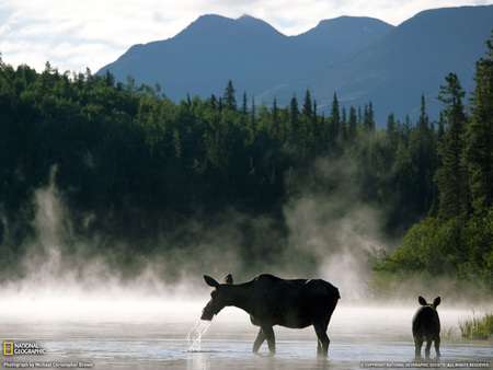 Mama And Baby - wilderness, forest, stream, moose, baby