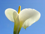 Calla Lilly Classic Large