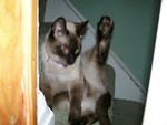 Siamese cat on the stairs with leg up