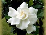 Gardenia Again 1