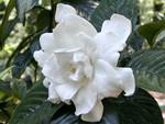 White Gardenia f