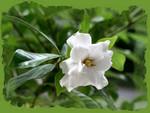 Small White Gardenia f
