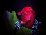 Amazing rose for my angel Michael