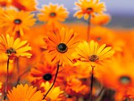 Orange Black eyed susans in a field