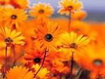 Orange Black eyed susans in a field