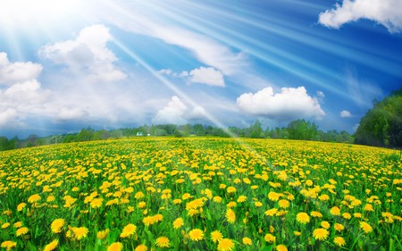 Field Of Flowers - grass, peaceful, tree, yellow flowers, landscape, sunny, flowers, blue, sky, colors, splendor, nature, trees, yellow, beauty, beautiful, lovely, rays, spring, clouds, field, field of flowers, pretty, green, view