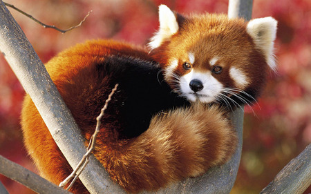 Red panda - nature, red panda, fores, animal