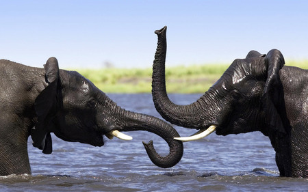 Elephants in river - animal, elephant, river, nature