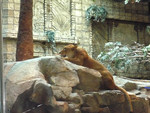 Lioness at MGM