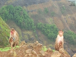 Lungoor monkey,India