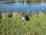 Lakes with geese