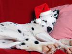 Christmas Nap, Dalmatian
