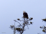 Bald Eagle on perch