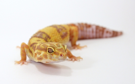 leopard gecko - fondos, background, gecko leopard rainwater, escritorio, albino