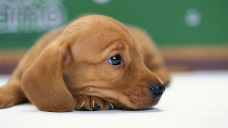 Miniature Dachshund Puppy - cute, nice, miniature, beautiful, dachshund, puppy, dog, sweet