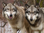 2 Brother Wolves