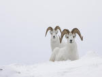 Goats in snow