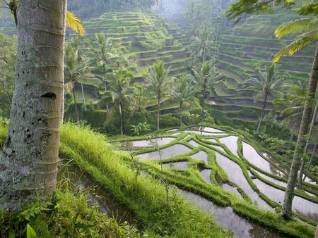 Terraced Rice Paddies Bali Indonesia - water, indonesia, paddies, trees, bali, palms