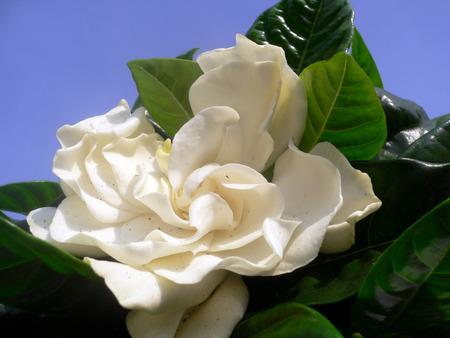 gardenia - green, white, flower, gardenia
