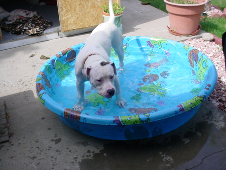 Cooling off in the pool. - pool, american bulldog, summertime, angus